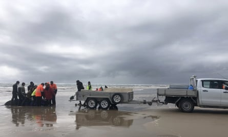 The rescue team slides on mats under the whales so they can be hoisted onto a trailer and driven to a launch point where they can swim back into the ocean.