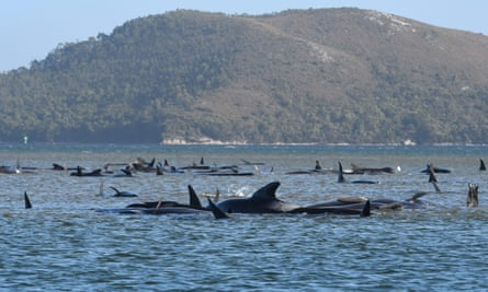 Hundreds of whales in a port in Tasmania