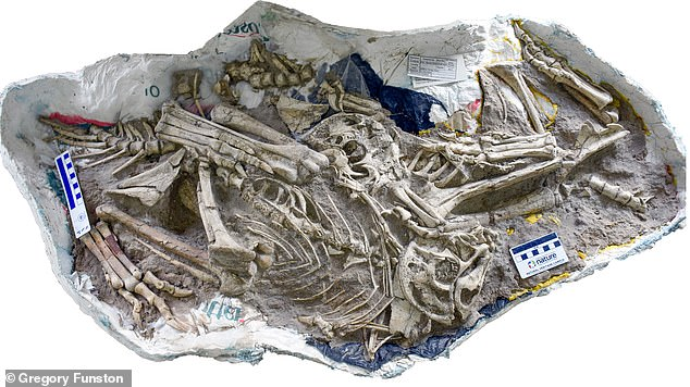 Researchers from Edinburgh found multiple, complete, illustrated skeletons of the new omnivorous species - called Oksoko avarsan - in the Gobi Desert.