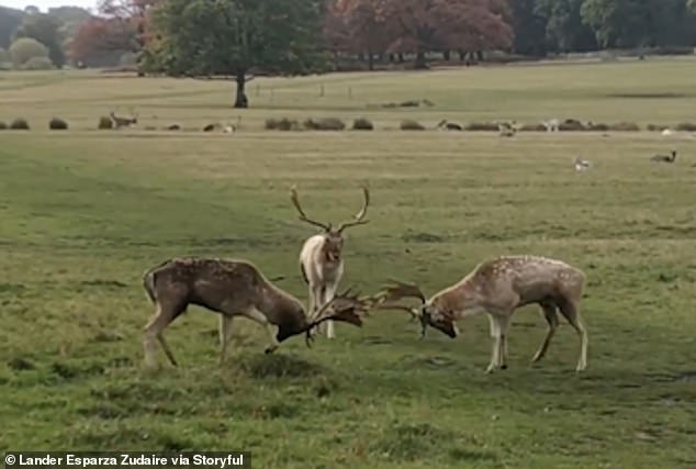 A video captured by a walker shows elk, just yards away, gathering several times as they try to assert their dominance.