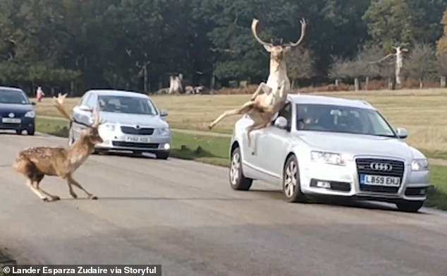 The pair of curly deer drifted a little further when they locked up their antlers in a showdown in Richmond Park, London last Wednesday.