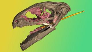 Computerized tomography of a pannirbitontid skull fossil