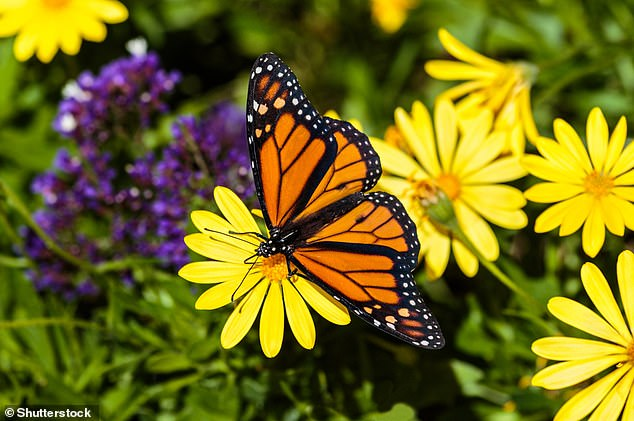 And as a butterfly.  It is famous for its ability to migrate over great distances.  Migrations in North America are one of the greatest natural phenomena in the world