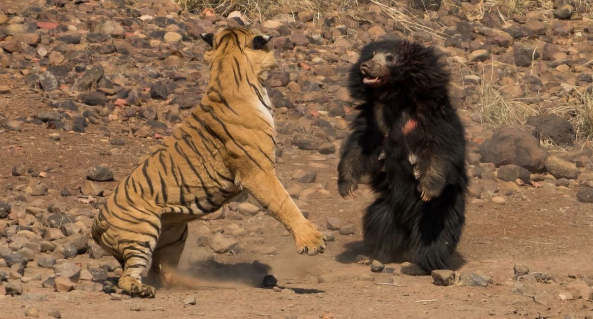 """Amazing moment A huge tiger attacks the """"most dangerous bear in the world"""" - world news"""
