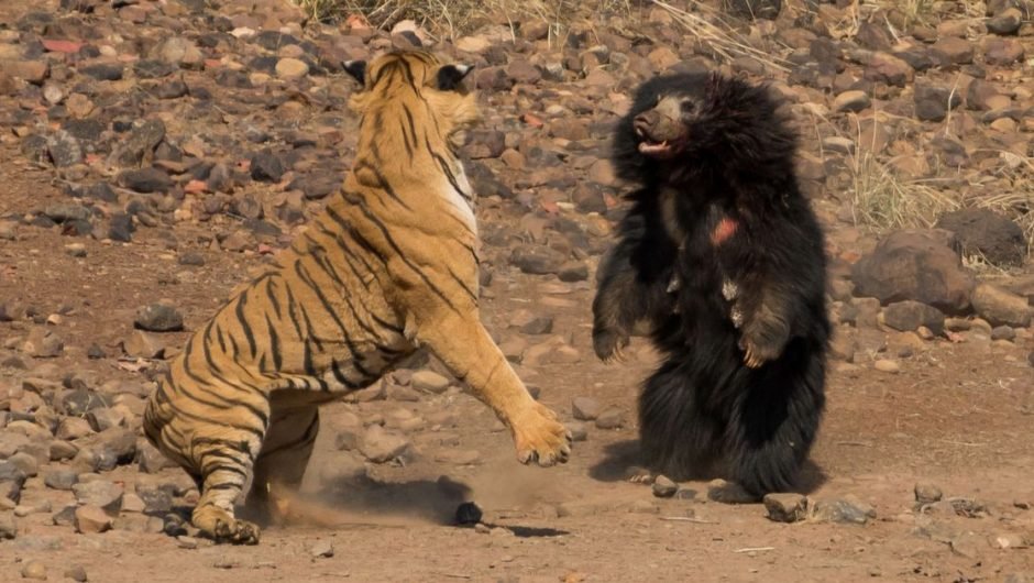 "Amazing moment A huge tiger attacks the ""most dangerous bear in the world"" - world news"