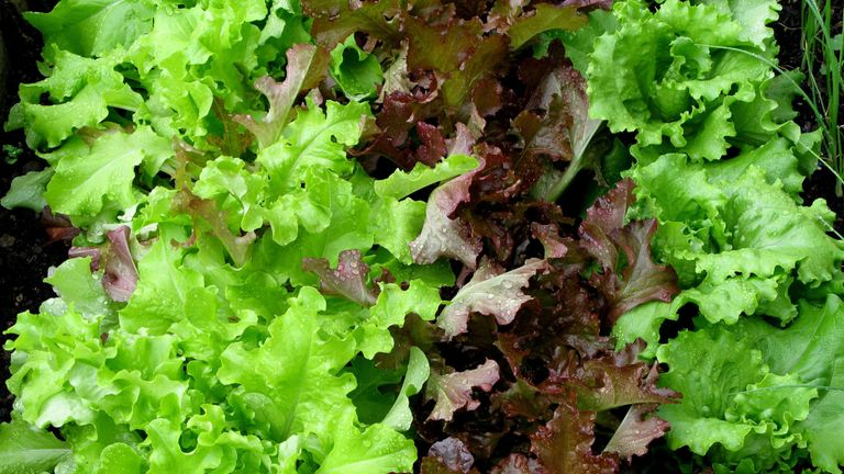 Some varieties of lettuce are sold in stores and they are out of stock online