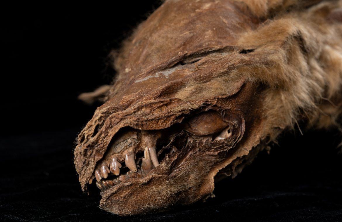 <p>The remarkable wolf pup find opens a window on ancient life in Canada's far north&nbsp;</p>