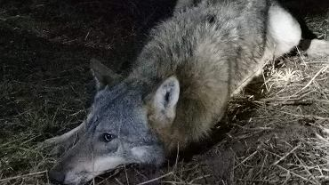 Cierzpiętek wolf was caught in a trap.  Residents helped