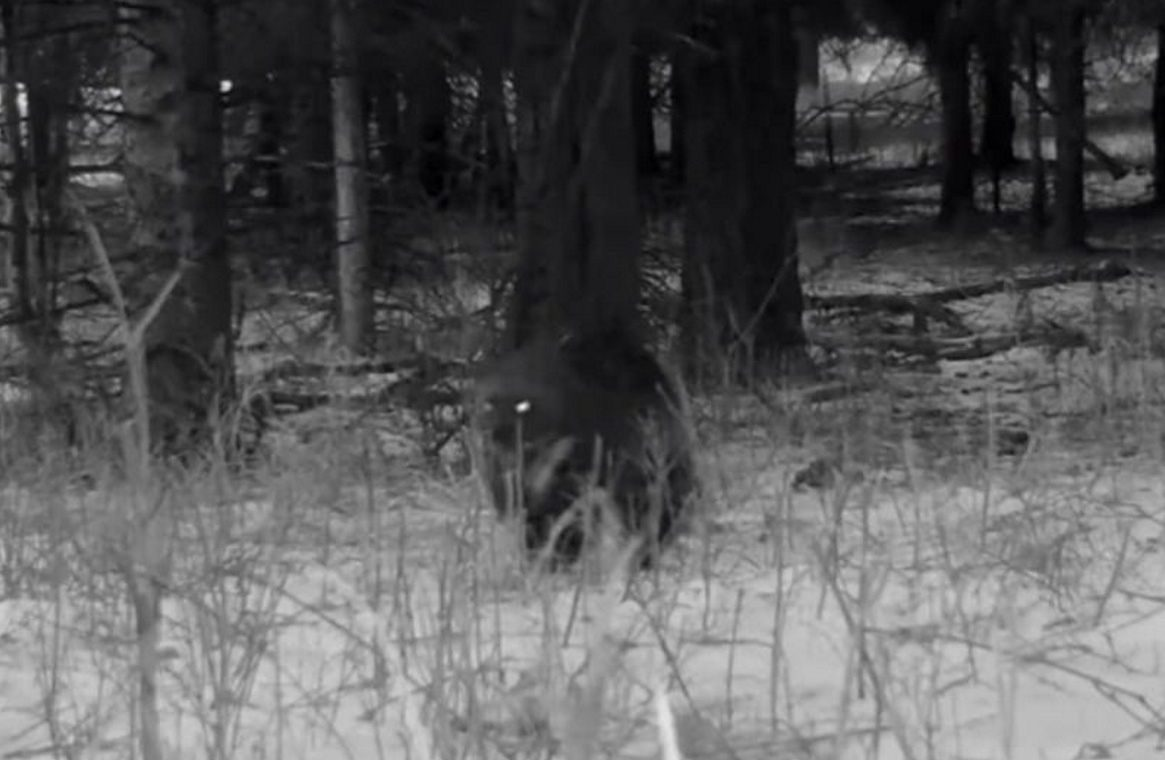 United States of America.  In Yellowstone Park, the camera captured an extremely rare animal