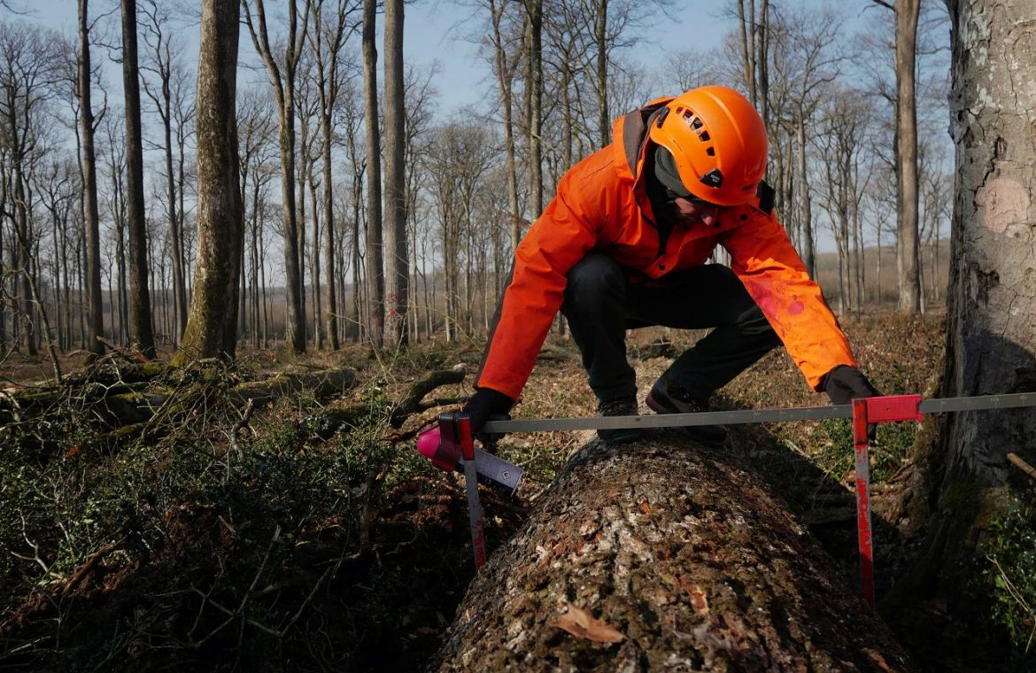 France.  More than 100 years of oak will be used to rebuild Notre Dame Cathedral.  Trees began to be cut down