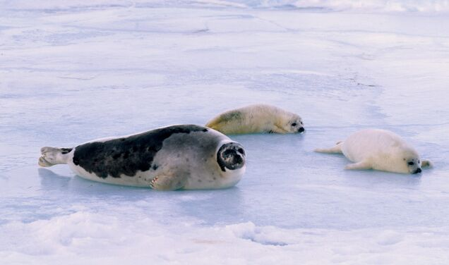 """""""They are killing as many animals as possible.""""  There is hunting for seals in Canada"""