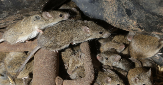 A rat epidemic forced the evacuation of a prison in Australia