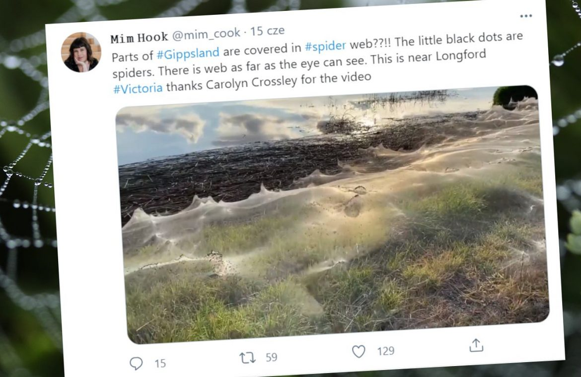 Australia.  Spider nightmare.  The state of Victoria is covered in thick spider webs    world News