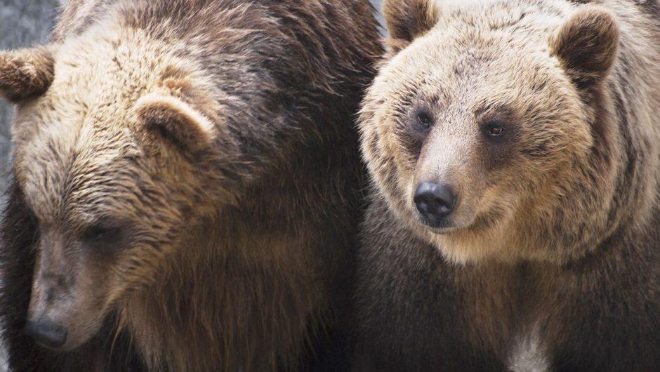 Istniało ryzyko, że niedźwiedzice wydostaną się na teren dostępny dla zwiedzających (fot. Shutterstock)