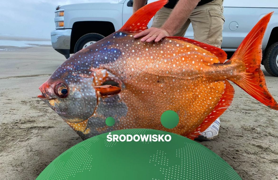 """A """"moonfish"""" is stuck on a beach in the United States.  The tropical specimen weighs 45 kg"""