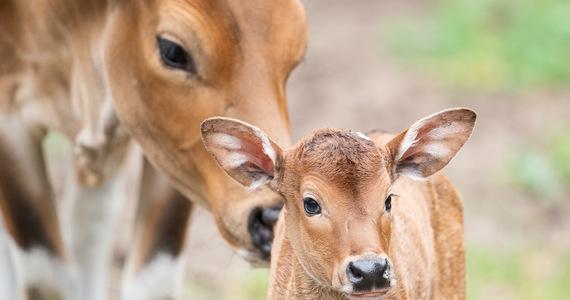 Sukces wrocławskiego zoo! W ogrodzie przyszły na świat dwa małe bantengi azjatyckie. Jedyna hodowla zachowawcza tego gatunku w Polsce znajduje się w stolicy Dolnego Śląska. W naturze zostało ok. tysiąca osobników jawajskiej odmiany bantengów.