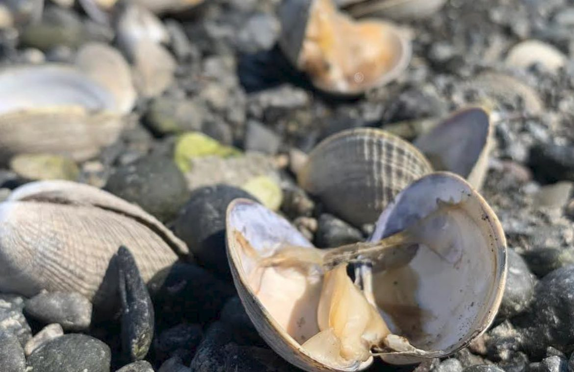 Oysters are cooking alive on the beach.  heat wave in canada