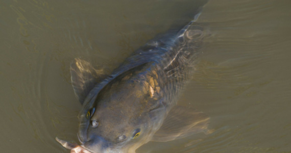 USA: Asian carp with a new name.  The old one was 'racist'