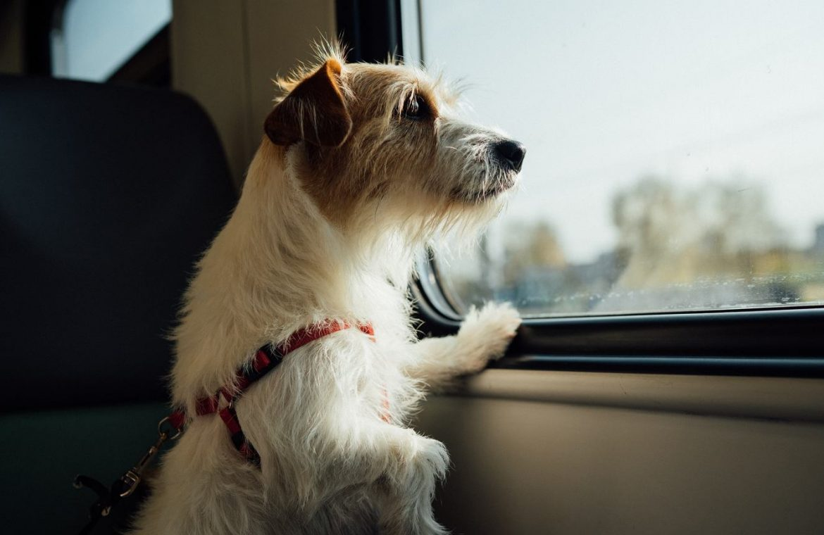 The dog traveled nearly 400 kilometers to get home.  Lost during a vacation trip |  world News