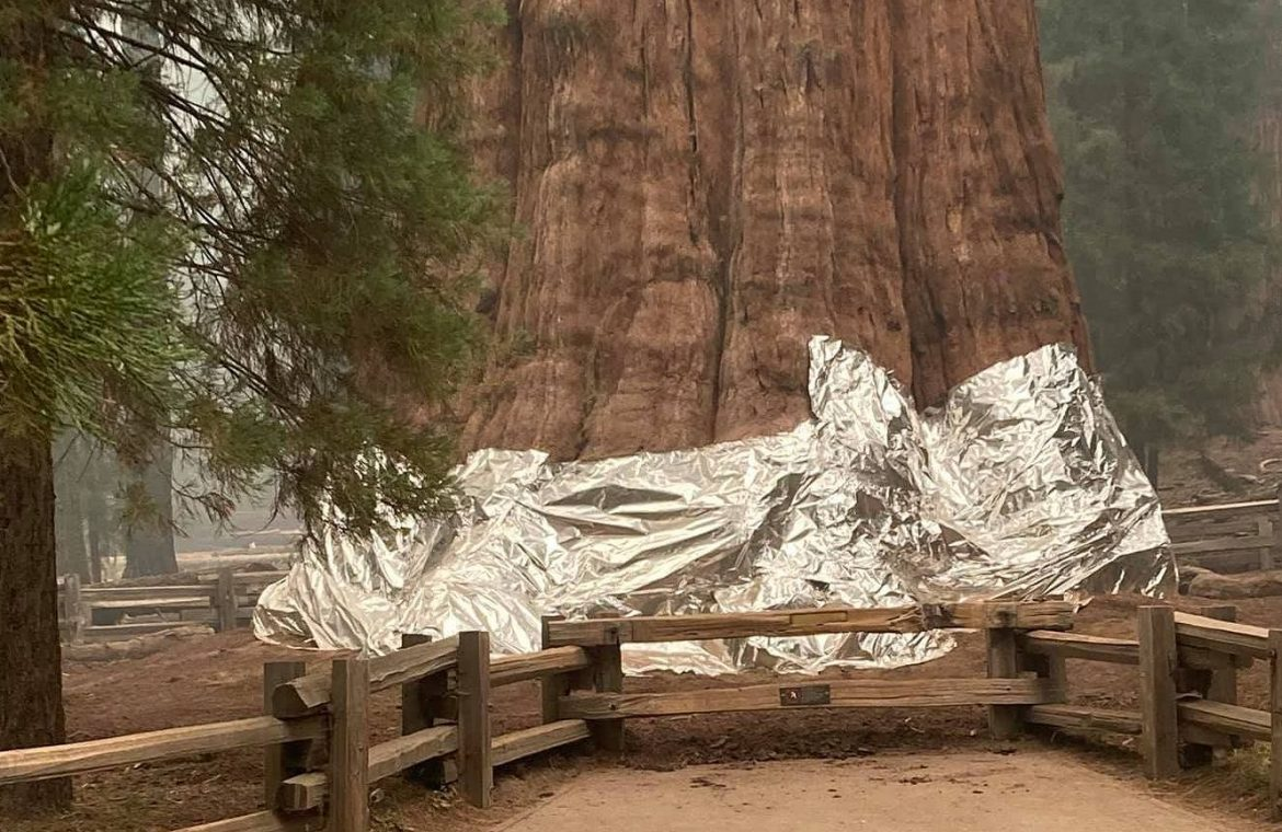 United States of America.  The largest tree in the world is endangered.  Firefighters wrapped a 2,700-year-old piece of redwood in a fire blanket